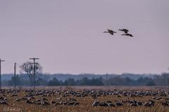 _C3N1281 (Clark Engbrecht) Tags: nebraska bird sandhillcranes migration nature wildlife
