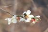 DSC06801 (han8282) Tags: 꿀벌 매화꽃
