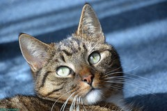 Neelix the Cat. (PhotoTJH) Tags: phototjh mackerel pattern makreel patroon tabby cat kat kater feline european shorthair europese korthaar cyperse cyper grijs grey neelix animal pet huisdier phototjhnl eye oog nose neus