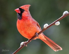 Male Northern Cardinal (jklewis4) Tags: outdoors nature backyard bird birds cardinal male northerncardinal red songbird