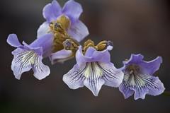 beautiful tree blossoms (Pejasar) Tags: tree blossoms flowers blooms spring 2017 blue bellshaped nature beauty neighborhood tulsa oklahoma