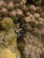 20130817--IMG_4081.jpg (r.mcminds) Tags: hexacorallian tridacnasp metazoan fieldwork bivalvia cnidaria anthozoan moorea cardiidae complex poriteslobata iii porites protostome lophotrochozoa tridacna scleractinian bilateria veneroida mollusca turbinariaalgae animal cnidarian hardcoral humpcoral mollusc mollusk poritidae stonycoral bivalve cockle giantclam frenchpolynesia pf