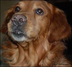 "The "" Angelic "" Look ! (KLF & JRN) Tags: kjphotography goldenretriever fieldretriever pointynoseddogs interestingdogposes brantford pet dog animal angelic"