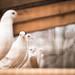 Die neugierige Taube im Zoo