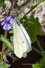 Cabbage White male (Pieris rapae) (12 of 13) (meeyauw) Tags: male pierisrapae cabbagewhite