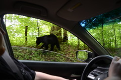 we saw black bears!! (Fuschia Foot) Tags: bear vacation drive cub tennessee scenic mama blackbear cadescove armr2013