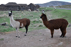 Lake Umayo Village and Llamas (ollygringo) Tags: travel peru titicaca animals farm farming llama andes llamas puno domesticated animalhusbandry umayo