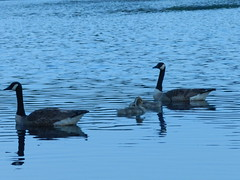 Geese and Goslings (Christine_Ray) Tags: new pine forest state reserve national jersey pinelands barrens belleplain belleplaincapemayandparvin