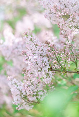 New Blog Post: Photography  | Smell The Lilacs. Feel The Spring on EvelinaLPhoto (Evelina L. Photography) Tags: pink flowers trees color colour nature colors coral wonderful blog spring amazing bush nikon focus pretty colours photographer purple natural weekend awesome fineart blossoms may blogger follow lilac bloom blooms friday bushes checkout radiant lithuania lilacs blogpost springtime photog fineartphotography flcikr newpost springblooms lilacbush 2013 ilovespring nikonphotography hellomay themonthofmay spring2013 lilacsbushes
