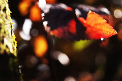 Leaves 014 (Ethan Sztuhar) Tags: red sun blur leaves closeup focus warm close bokeh sony a33 alpha