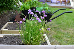 Improvements (Lou Morgan) Tags: uk summer england london self garden spring herbs beds growing chives wheelbarrow sustainability raised improvements sufficiency