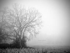 porque los días de niebla se acaban, y al final termina por salir el sol.... (MaRuXa fotografía) Tags: byn canon arbol galicia niebla maíz maruxa