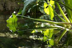Green water (Lucis amore) Tags: light plants verde green folhas nature water leaves gua horizontal photography mirror leaf plantas natureza photograph fotografia reflexos