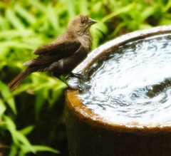Water Break (ICK9S [M. H. Stephens]) Tags: bird fowl avian cowbird brownheadedcowbird wildbird waterbreak