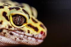 Eye of a Leopard Gecko (olydemon) Tags: eye sony gec a300 macromondays