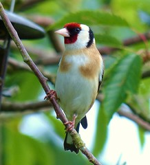Goldfinch (Feathers (Allan)) Tags: