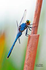 c of e dragonflies 040-2_filtered-fb.jpg (millerca2001) Tags: elementsorganizer
