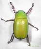 BG2013_222 Chrysina beyeri (edit) (MO FunGuy) Tags: arizona beetles maderacanyon shiningleafchafer santaritamountains pimacounty chrysina bugswarm2013