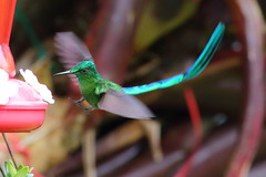 Colibr XXI (Explore) (Jos M. Arboleda) Tags: bird canon eos colombia hummingbird jose ave 5d colibr arboleda markiii trochilidae coelestis aglaiocercus coconuco apodiforme mygearandme josmarboledac blinkagain ef400mmf56lusm14x troquilinos