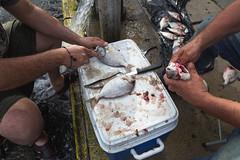 Scaling Fish on the Sidewalk (metroblossom) Tags: street newyorkcity fish newyork fishing fishermen bronx cleaning sidewalk firehydrant scaling img9187