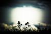 Days Are Gone (N!elsL) Tags: holland netherlands silhouette clouds zonsondergang nikon pov nederland v1 flevoland lelystad ijsselmeer flevopolder nikon1 oostvaardersdijk nikon30110 nikonv1 30110mm nikkorvr30110mmf3856 30110mmf3856 nikkor30110 httpwwwflickrcomphotosvanniels httpswwwflickrcomphotosvanniels