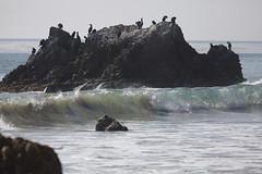 Brandt's Cormorants, El Matador Beach CA IMG_8308 (Hart Walter) Tags: spotted californiabeach penicillatus cormorantphalacrocorax elmatadorstatebeach lapiedrastatebeach sandpiperactitis maculariusbrandts