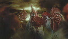 OhCock (Csheemoney) Tags: animal composite photoshop farm gang cock angry cocks mean retouch tough cockfight