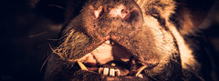 Teeth (Fairy_Nuff (new website - piczology.com!)) Tags: mouth pig feeding teeth snout snugburys