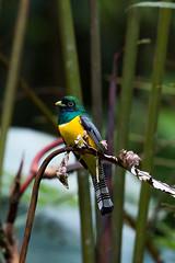 Black-throated Trogon (rhysmarsh) Tags: male bird costarica perched cloudforest puntarenas uvita bahaballena blackthroatedtrogon trogonrufus