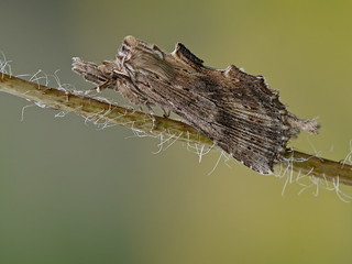 Pterostoma palpina (Pale Prominent, Snuitvlinder)