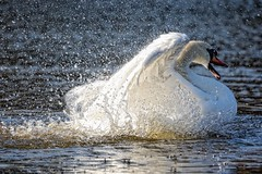 Bath-Time. (stonefaction) Tags: nature birds scotland swan dundee wildlife ponds mute faved swannie explored stobsmuir
