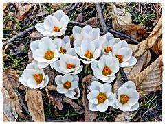 Krokus (Ulla51) Tags: plants nature spring blossom natur pflanzen blumen frhling blten ulla51