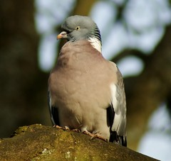 Wood Pigeon, 'columba palumbus' Explored (Paul (Barniegoog)) Tags: tree bird nature garden branch pigeon beak feathers woodpigeon