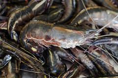 Pitus (Paulo Nunes Jr.) Tags: fair feira camaro pitu shrimp2014condemaro