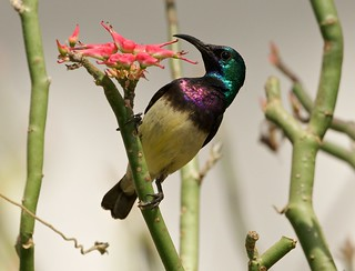 Variable sunbird, male