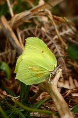 Brimstone, Dartmoor. (Martin F Hughes) Tags: uk southwest slr canon butterfly eos martin insects devon dartmoor hughes brimstone 500d 100400 martinhughes