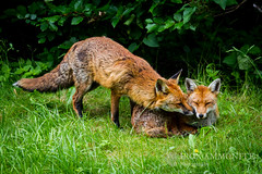 Kissing foxes (Paul Williams www.IronAmmonitePhotography.com) Tags: uk garden bristol mammal wildlife fox redfox vulpesvulpes canines vulpes