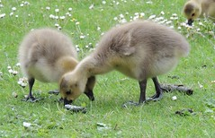 york birds geese yorkshire goslings