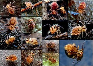 Ptenothrix sp.3 principal form Collage (2mm)
