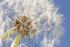 Dandelion Daze (hennessy.barb) Tags: dandelion seeds seedhead bluesky
