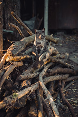 Grey tabby cat on a pile of dry twigs and chopped wood (ddanilejko) Tags: splittingfirewood firewood wood fuelwood outdoors partof photography plant selectivefocus cutting woodmaterial dividing heap slice pile stack bunch textured dried branches brown autumn hewing trees preparation constructionindustry constructionmaterial grain grey stripped tu tabby tomcat animal small rural village ukraine log fuelandpowergeneration rough sawing nature cracked deforestation environment bumpy country naturalpattern midsection