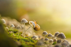 sên của ngày nắng (Le Anh The) Tags: snail light lightroom sunlight mushroom macro macrophotography macrodreams canon canonphotography 100mm canon7d f28 manual focus insect bokeh explore