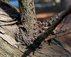 Metasequoia glyptostroboides (Dawn Redwood) (Plant Image Library) Tags: arnold arboretum winter february 2017 plants metasequoiaglyptostroboides dawnredwood cupressaceae 348a stem trunk bark bud