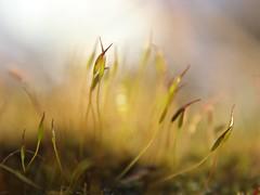 Moss (mcginley2012) Tags: macro moss nature ireland green stem capsule onthegardenwall light stalk