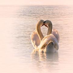 Love ❤️ (Claudia Bacher Photography) Tags: schwan swan see wasser water paar couple sonnenuntergang sunset tiere animals verliebt inlove liebe love lake outdoor suisse schweiz switzerland sonya7r