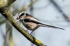 long tailed tit brings a feather (hardy-gjK) Tags: birds vögel oieseaux nature wildlife hardy nikon