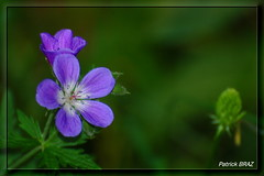L't est l ! (Patchok34) Tags: mountain france flower nature fleur montagne nikon franchecomt nationalgeographic mywinners flickraward nikonfrance massifdujura nikonflickraward