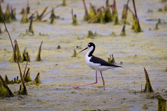 Tiptoe Through the Salt Marsh (MissTessmacher) Tags: bird animal nikon blackneckedstilt teleconverter 2x d90 primehooknationalwildliferefuge tc20eiii