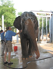 Spa Time (snap713) Tags: elephant houston asianelephant houstonzoo