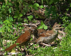 _BrownThrasher 3baby feeding 2041r (Norm Townsend) Tags: bird oklahoma nature birds backyard pentax bigma wildlife gimp sigma tulsa k5 brownthrasher toxostomarufum gimpusers greencountry gmic rawtherapee creekcounty sigmaapo50500f463